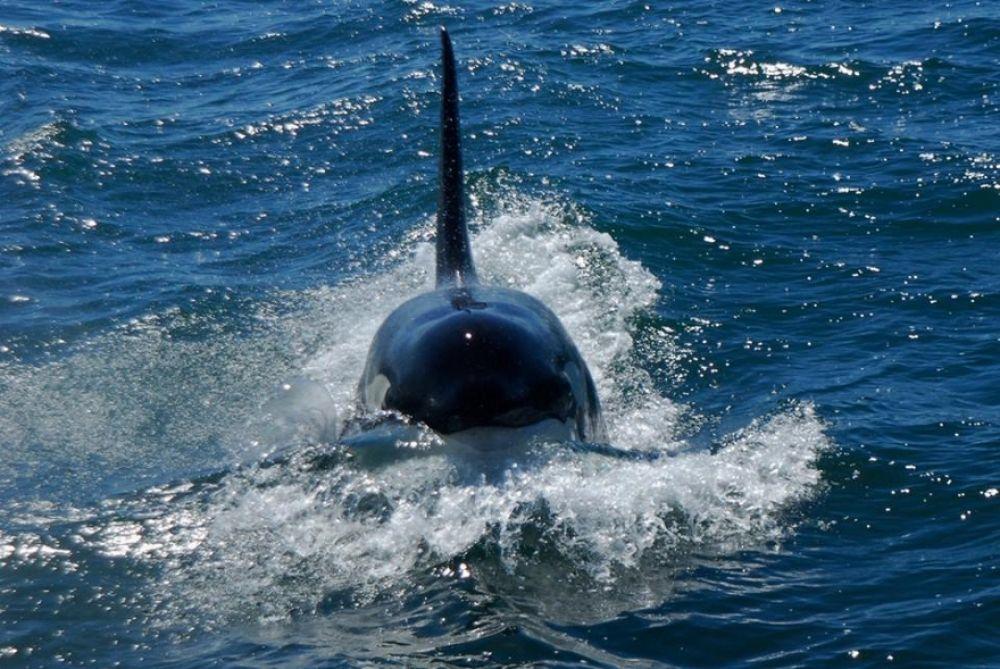 killer whale attacks - 1000×669