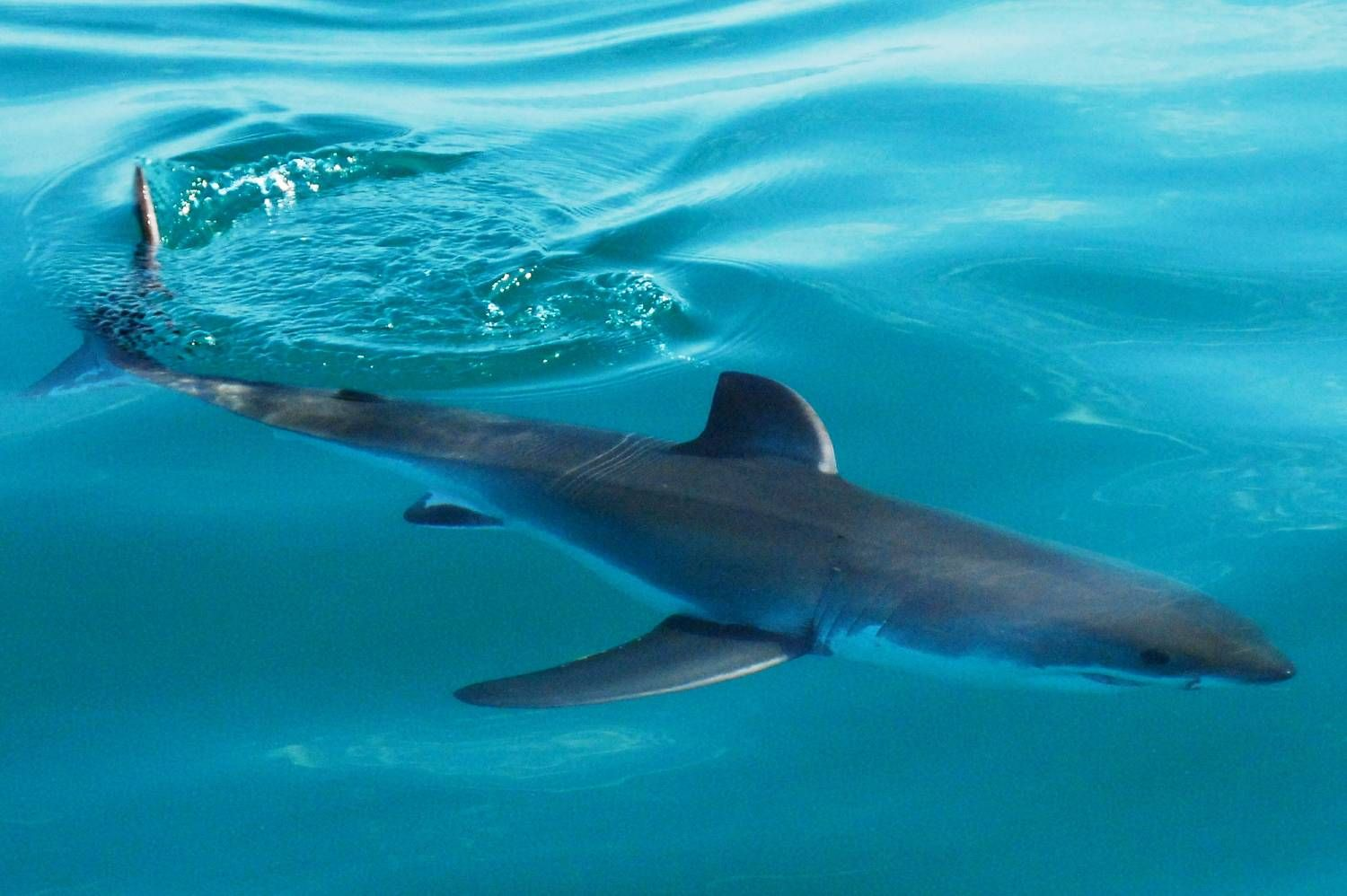white_shark_juvenile_2000.jpg