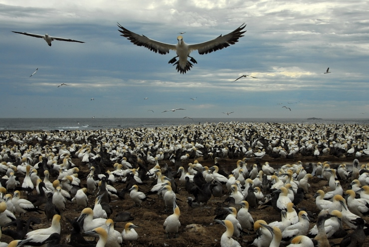 Cape Gannets on Bird Island