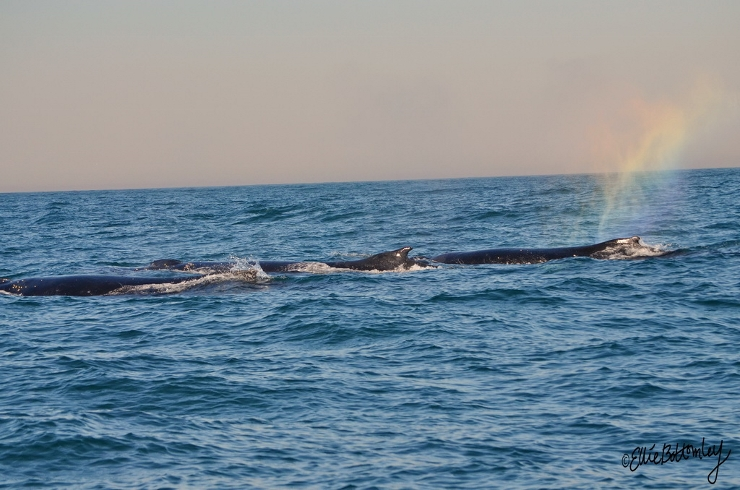 Humpback Whales in Algoa Bay