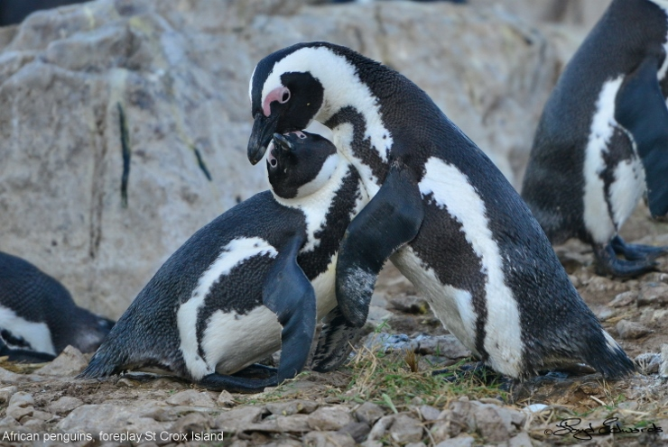 Penguin Foreplay