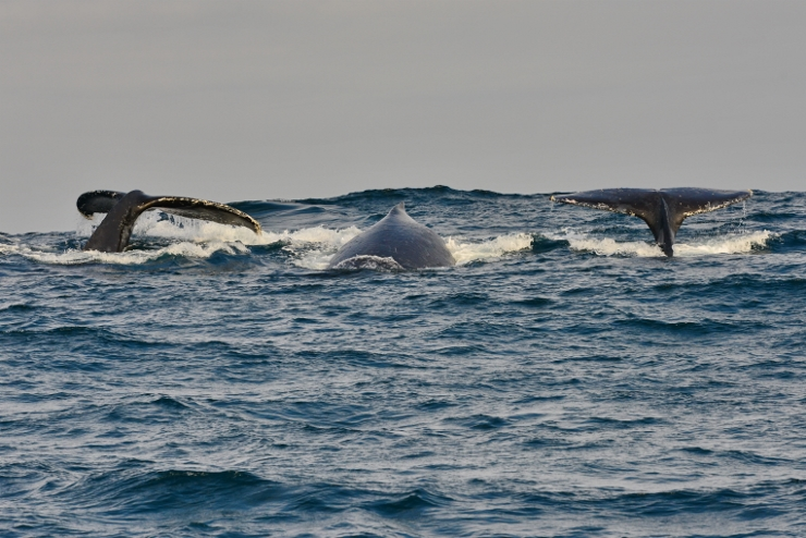 Humpback Whales doing a deep dive
