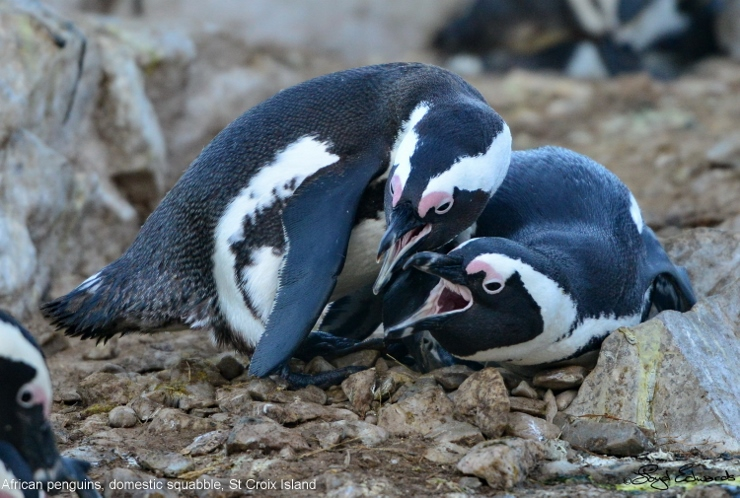 Penguins Breeding