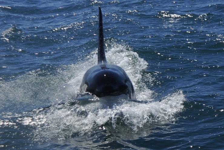 Killer Whale in Algoa Bay
