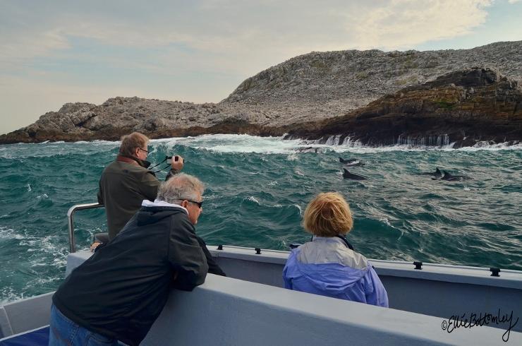 Bottlenose Dolphins at St Croix