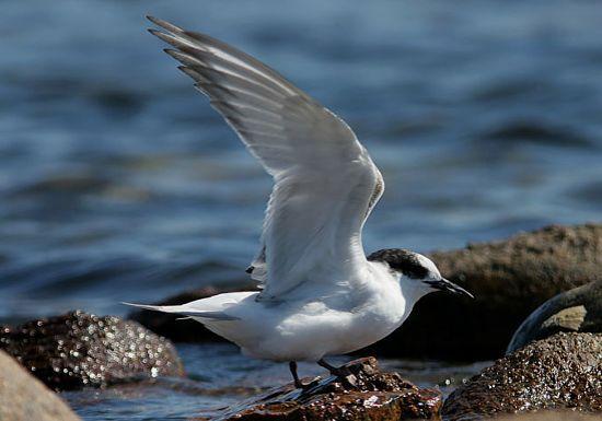 Antarctic Tern (Non-Breeding Plumage)