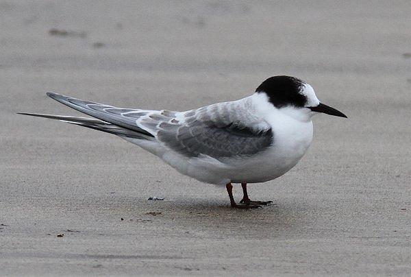 Arctic Tern (Non-Breeding Plumage)