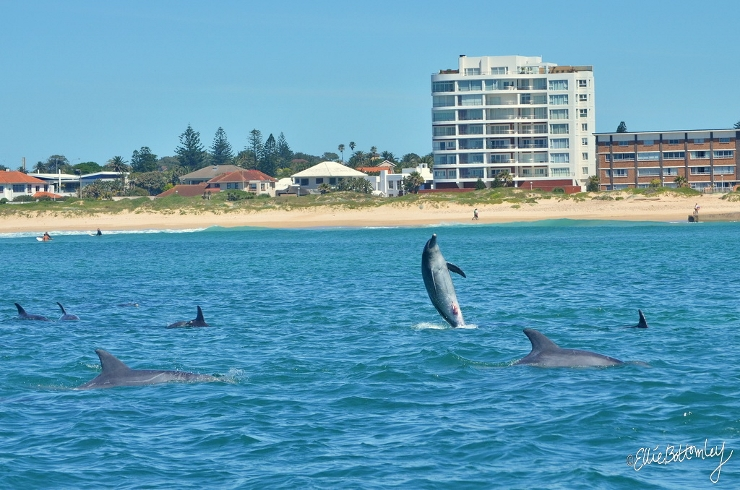 Bottlenose Dolphins at Port Elizabeth Beachfront