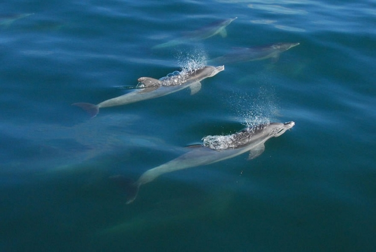 Bottlenose Dolphins Under Water