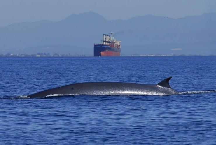 Bryde's Whale Dorsal Fin
