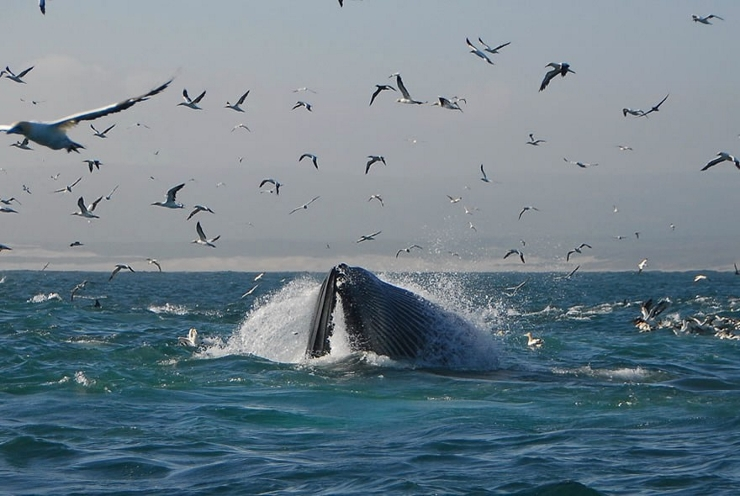 Bryde's Whale Feeding (showing distended throat grooves)