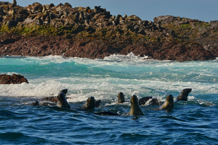 Cape Fur Seals at Black Rocks