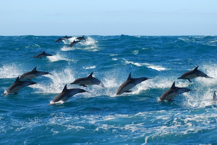 Common Dolphins Flying