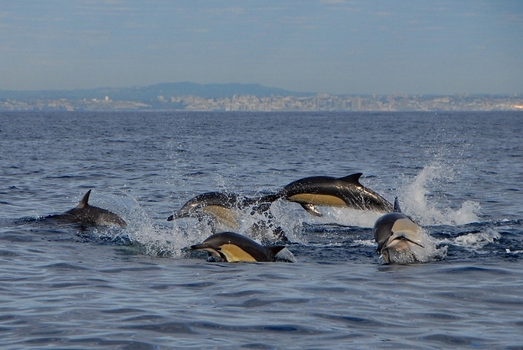 Common Dolphins in front of Port Elizabeth