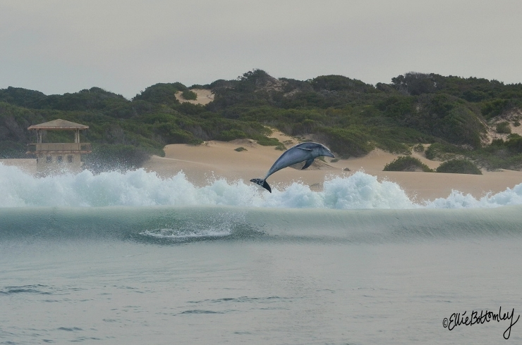 Bottlenose Dolphin Breaching at St Georges Strand