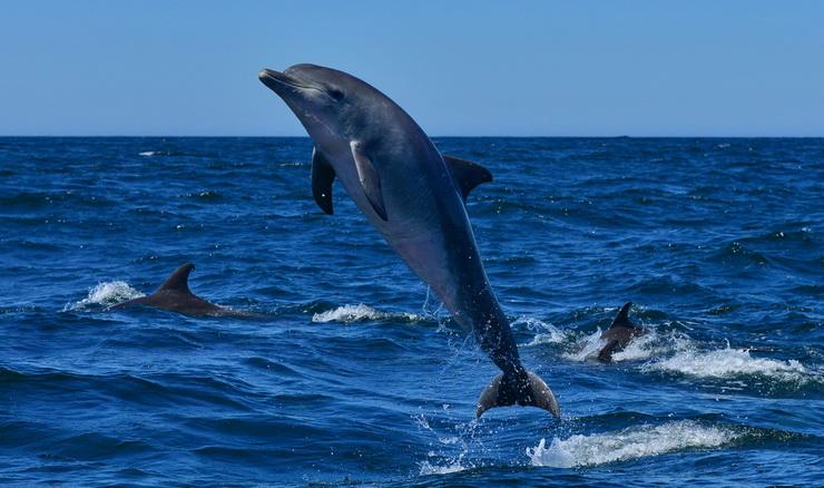 Bottlenose Dolphin Breaching in Algoa Bay
