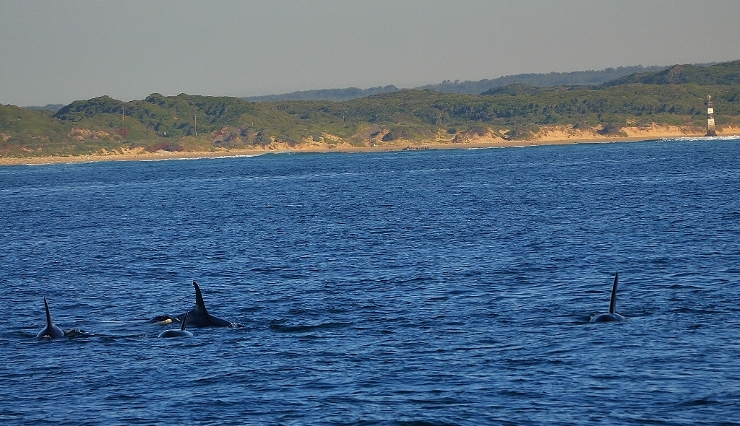Five killer whales in Algoa Bay