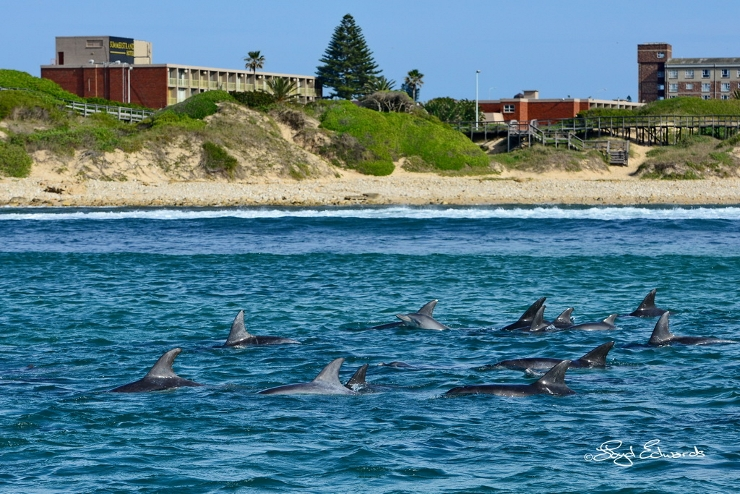 Bottlenose Dolphins in front of the Summerstrand Hotel