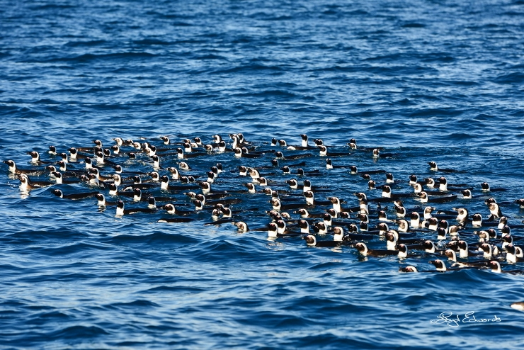 Raft of African Penguins