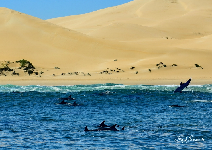 Bottlenose Dolphins in front of Alexandria Dunes