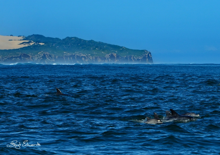 Bottlenose Dolphins at Woody Cape
