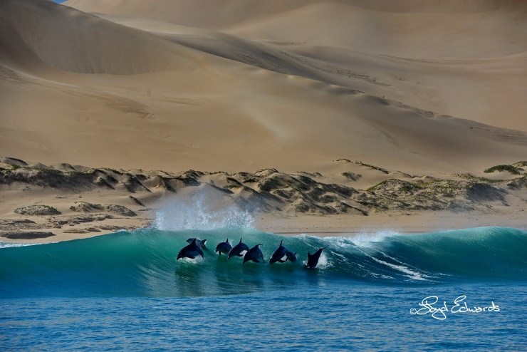 Bottlenose Dolphins in front of Dunes