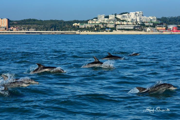 Bottlenose Dolphins at PE beachfront