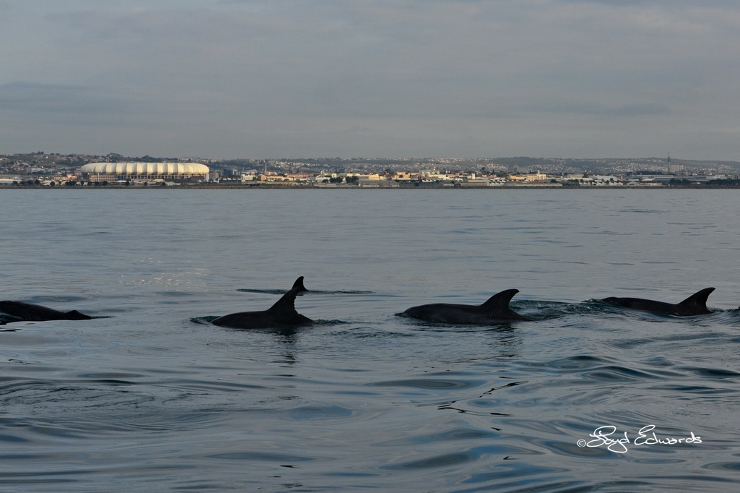 Bottlenose Dolphins in Algoa Bay