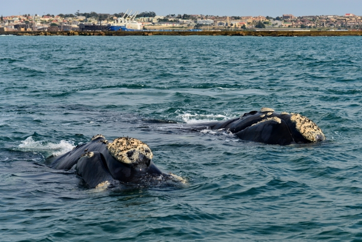 Southern Right Whales in Algoa Bay
