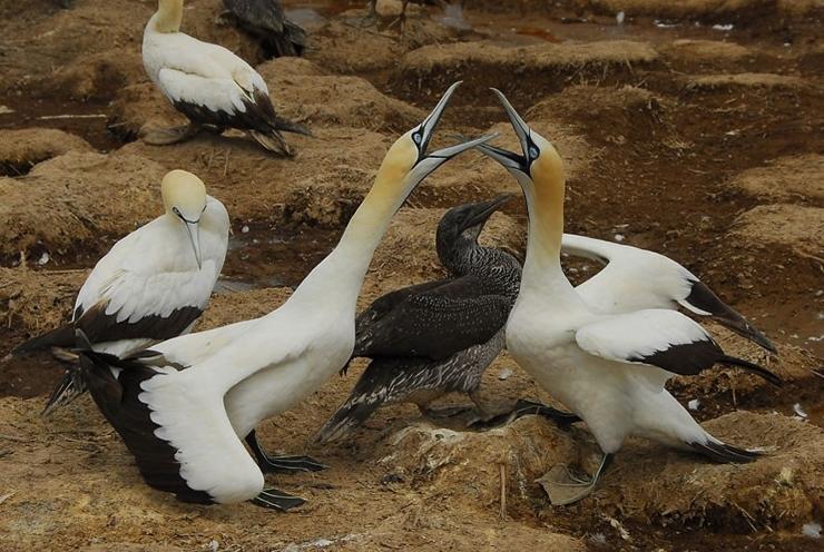 Cape Gannet Adults with Juvenile