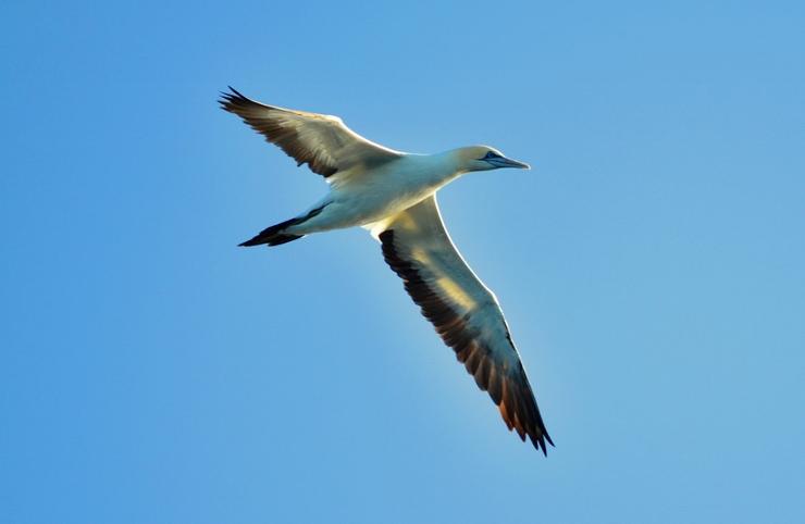 Cape Gannet in Flight