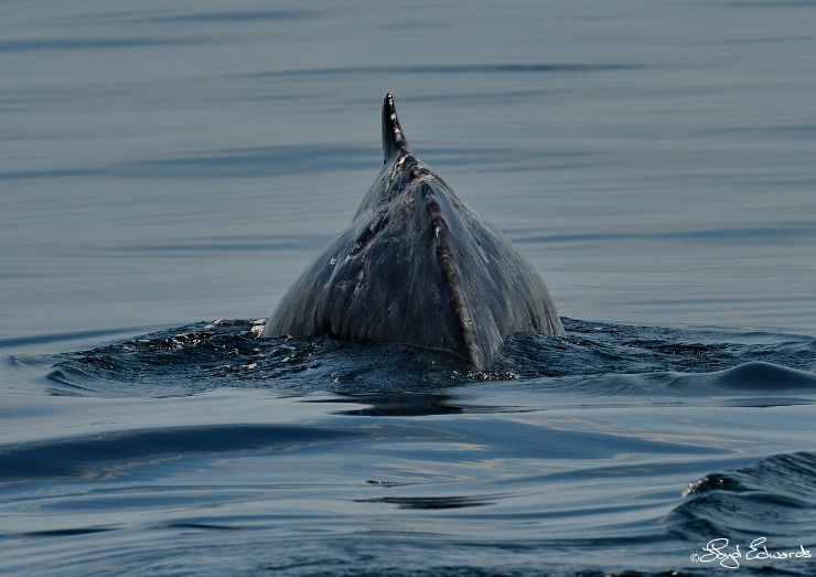 Humpback Whale Calf Scarred