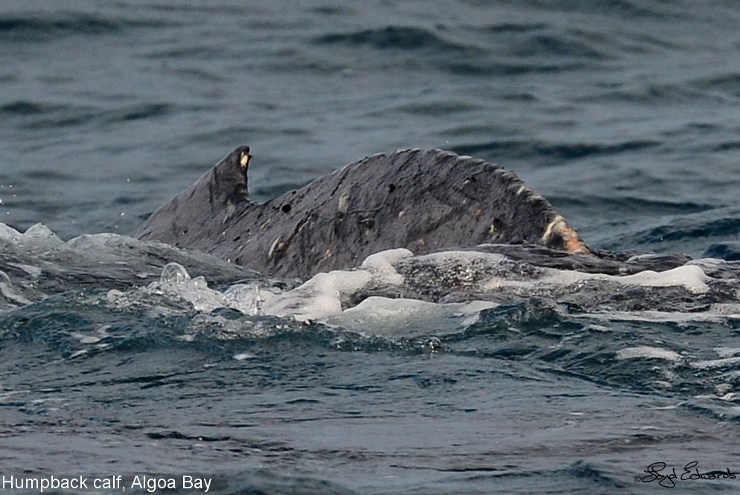 Humpback Calf Number 1 with scars
