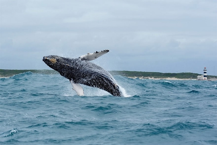 Humpback Whale Breaching at Cape Recife
