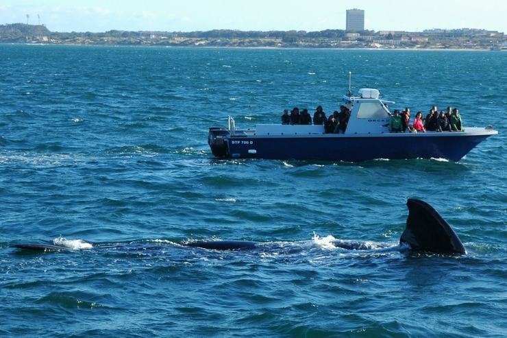 Southern Right Whale with Orca 2