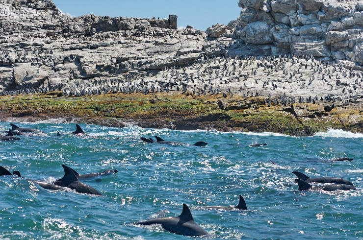 Bottlenose Dolphins and African Penguins at St Croix