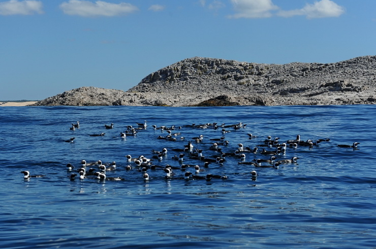 African Penguins in front of St Croix