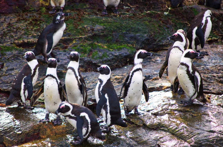 African Penguins on St Croix Island
