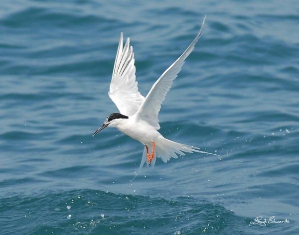 Roseate Tern (Non-Breeding Plumage)