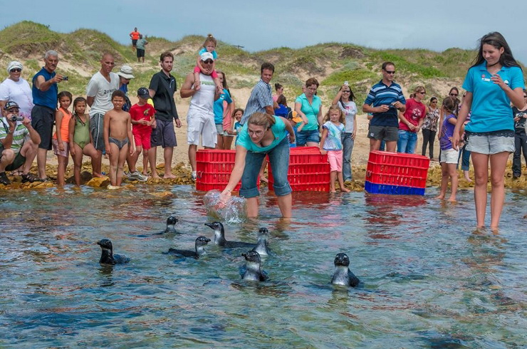 African Penguins being released