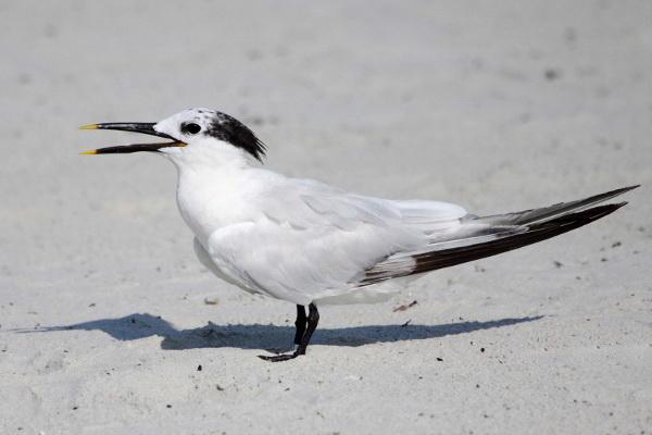 Sandwich Tern (Non-Breeding Plumage)