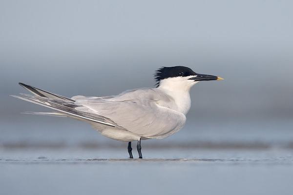 Sandwich Tern (Breeding Plumage)