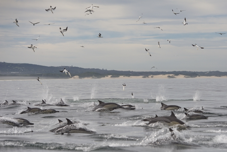Common Dolphins in Algoa Bay
