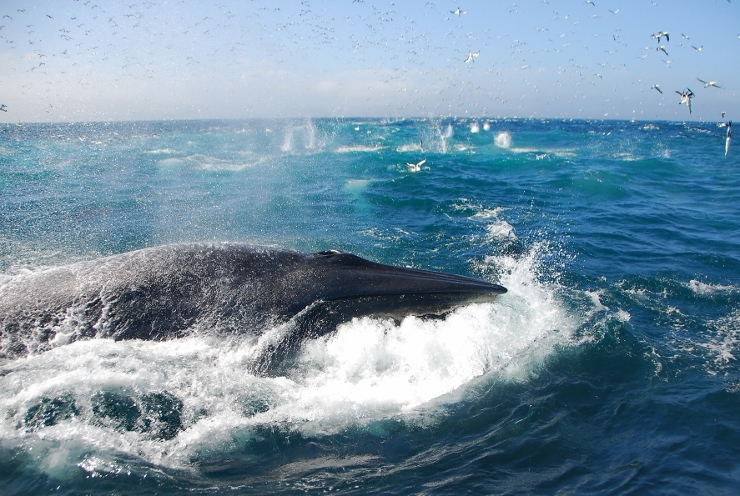 Bryde's Whale in Algoa Bay