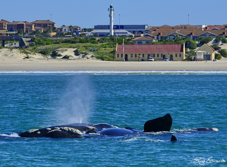 southern_right_whale_sighting_1.jpg