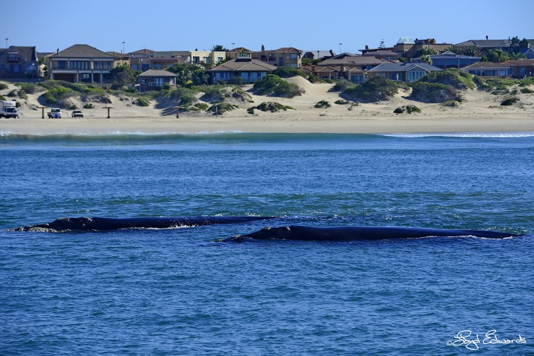 southern_right_whale_sighting_4.jpg