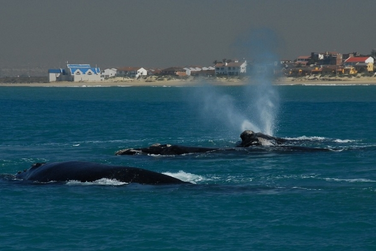 Southern Right Whales showing V-Shaped Blow