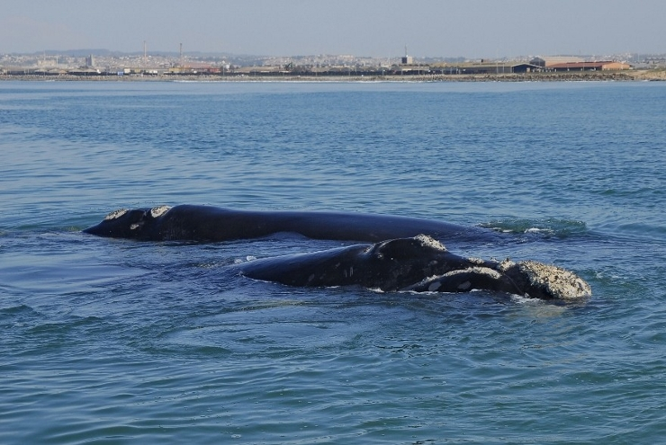Southern Right Whales in front of Port Elizabeth