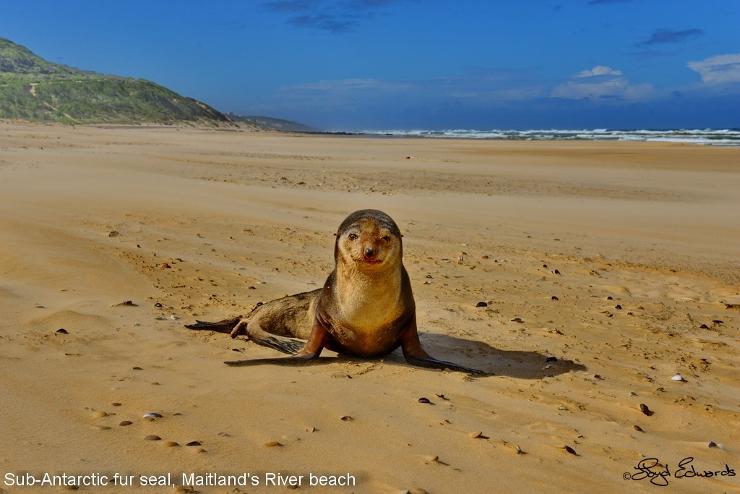 Sub-Antarctic Fur Seal at Maitlands
