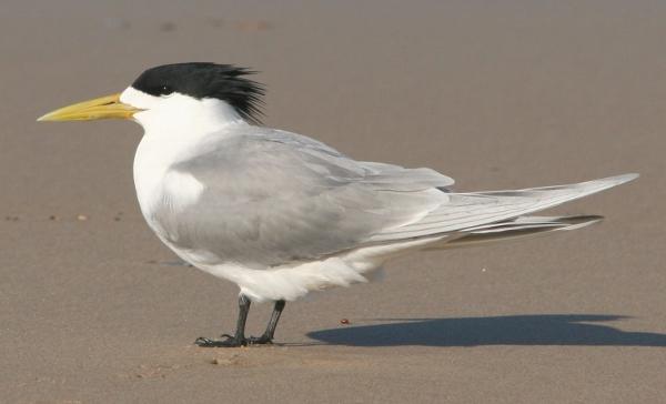 Swift Tern (Breeding Plumage)